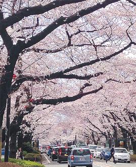 満開に近い桜が彩る市役所さくら通り=26日