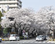 桜と笑顔咲く 春飾る祭典