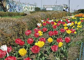 チューリップなど春の花が咲き誇る横浜水道道=4日