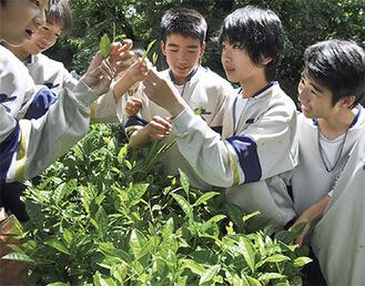 声を掛け合いながら広い茶畑で一芯三葉摘みをする生徒ら=12日、上溝中学校