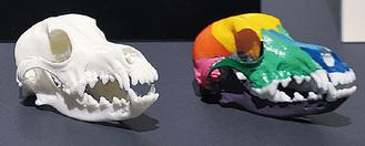 3Dプリンターで精巧に作られたビーグルの頭蓋骨