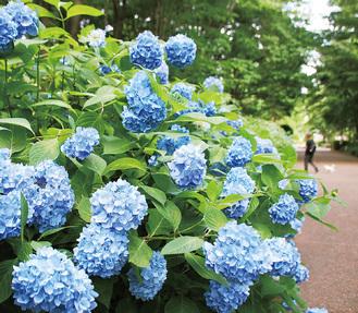 梅雨の時季を彩るアジサイが青に染める公園内=1日、相模原北公園で撮影