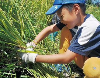 汗をかきながら育てた稲を丁寧に刈る子ども=6日、ふれあい田んぼ