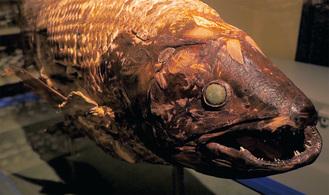 展示されるシーラカンス成魚の標本 =北里大学海洋生命科学部提供
