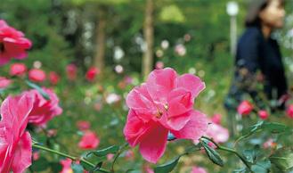 色とりどりのバラが彩る北公園=2日