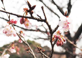 花が咲き始めた「カンザクラ」=8日撮影