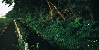 望地ならではの自然の豊かさを表す、ホタルが飛び交う様子を収めた一枚