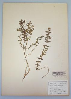 ヒメハッカの標本(相模原市立博物館所蔵)