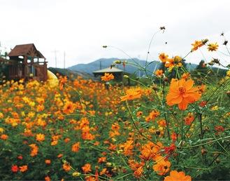 現在、コスモスが咲き乱れる「目の前」の広場
