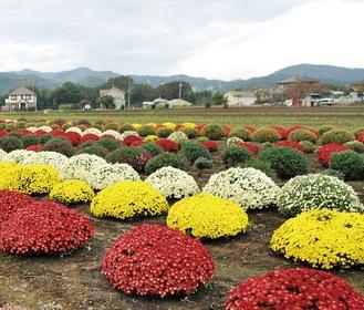 山の稜線と対比してよりカラフルさが際立つざる菊=7日、田名