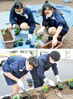 熱心に花苗を植栽する生徒=(上)10月27日、清新中学校・(下)11月4日、横山