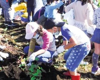 泥んこでサツマイモを掘る子どもたち