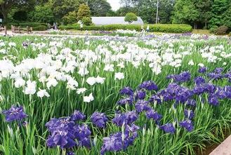 色とりどりの花が涼しげに咲き誇る水無月園=4日、相模原公園