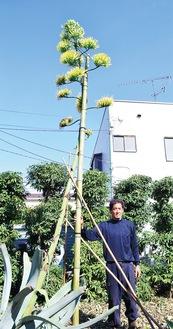 黄色い花を付けるリュウゼツランと並ぶ金井さん=16日、田名