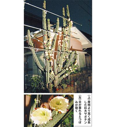 巨大サボテン開花