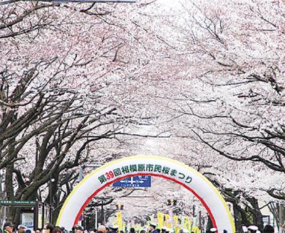 桜並木を景観重要樹木に