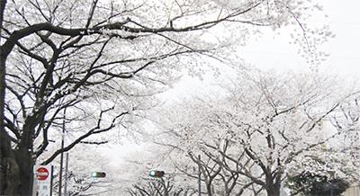相模原の桜はや満開