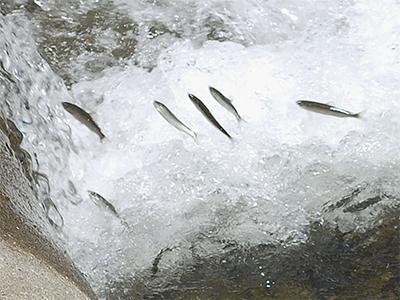 昨年2倍超の天然鮎遡上