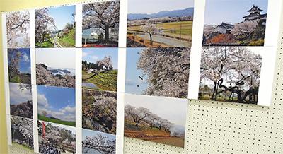 東北に咲く桜を展示