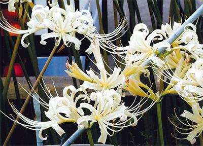 咲き誇る「白い彼岸花」