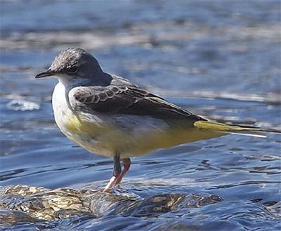 相模川で野鳥調査