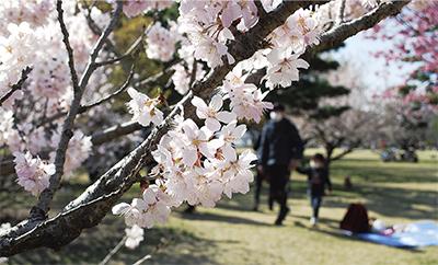 桜色の春、到来