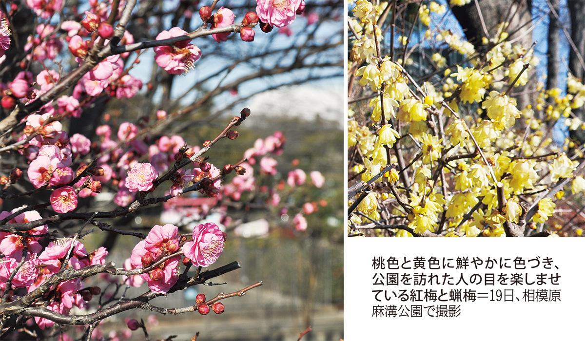 「桃」と「黄」色づく 早春の便り