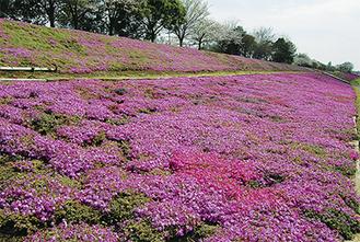 まさにピンクの絨毯!昨年4月撮影