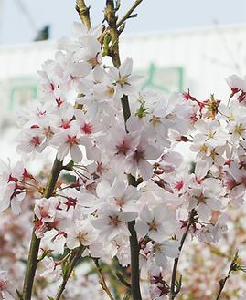 黒河内病院の桜も先週には満開を迎えた(3/22撮影)。ソメイヨシノに比べると、桃色が少し強いのが特徴