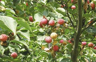 赤く鈴なりのヤマボウシの実=9月6日撮影