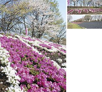 左写真、右上写真は昨年の様子。右下写真は3月23日時点の芝ざくら(一部養生期間中)