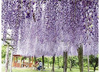 第8回大賞「藤の花」(秦野戸川公園)