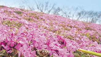 これから見頃を迎える河川敷を彩る芝桜=4月1日撮影