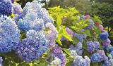 市の花「アジサイ」見ごろ