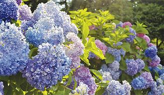今年も彩り豊かに開花=6月16日撮影
