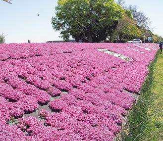 相模川の堤防を鮮やかに彩る芝ざくら=4月10日撮影