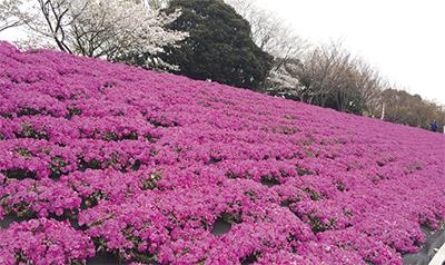桜の次は「芝ざくら」