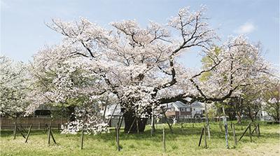 嗚呼、天国地獄  同期の桜