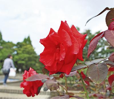 鮮やかな秋咲きのバラ