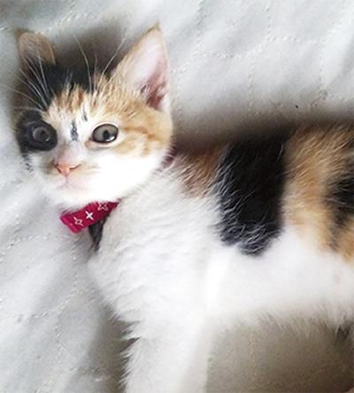 「迷い三毛猫探してます」