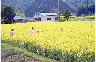 一面黄色の菜の花園