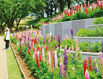 5月20日には恒例のルピナス祭りも開催され、盛大に賑わった津久井湖城山公園・水の苑地