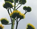 数十年に一度しか咲かない貴重な花