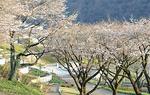 春には桜の名所となる津久井湖城山公園