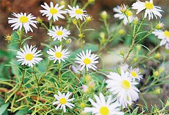 可憐な花を咲かせるカワラノギク