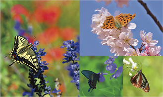 公園には約50種の蝶が生息している