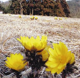 2月下旬頃から少しずつ福寿草が咲き始めるという