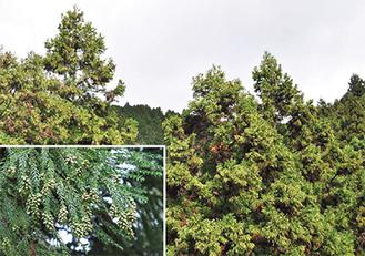 黄色味かかって見えるのが雄花。枝の先に米粒大の雄花が着いている(写真左下)=ともに清川村のスギ