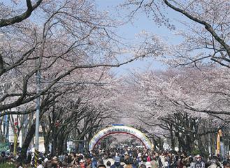 会場は桜が一面に