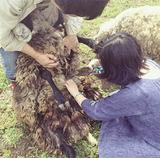 羊と綿で「布の自給自足」